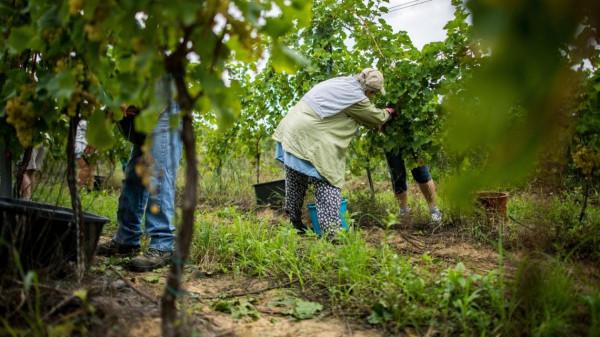 Akkora a nyomor Magyarországon, hogy nettó 260 ezerért sem lehet napszámosokat találni a zöldség-gyümölcsöskertekbe